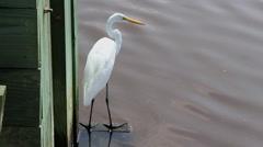 Great egret shore bird Stock Footage