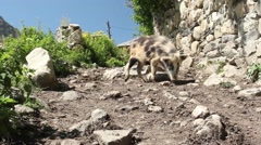 Pig in mountain village Stock Footage
