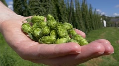 Stock Video Footage of Slow Motion Closeup ripe Hops flower Cone in hand (Model Released)