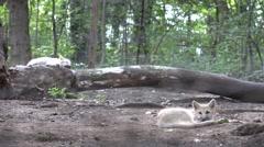 ULTRA HD 4K White baby wolf wild animal rest sleep ground forest summer hot day Stock Footage