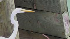 Close up great egret bird  head beak eye Stock Footage