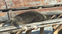 Sea lion sleeping on a bench in San Cristobal Stock Footage