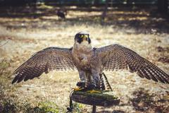 Hawk, peregrine falcon with open wings , bird of high speed Stock Photos