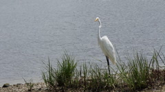 Stock Video Footage of great egret stretches crooked neck marsh