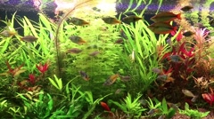 Stock Video Footage of Aquarium fishes and green water plants