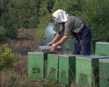 Beekeeper checking beehives in heathland using a smoker + zoom out Stock Footage