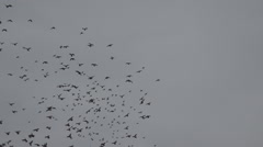 Beautiful bird flock motion cloudy sky black raven crow search food wildlife day - stock footage