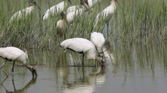 Wood storks on shore Stock Footage