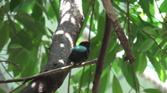 Blue backed manakin bird relax perched tree branch tropical leaf birdwatching Stock Footage