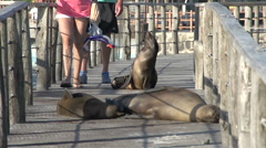 Tourist trying to pass by sea lions in San Cristobal Stock Footage