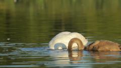 White mute swan with its young searching for food in the lake in nature Stock Footage