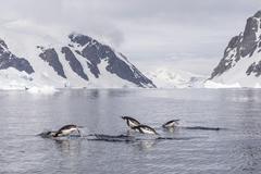 Adult gentoo penguins (pygoscelis papua) porpoising, danco island, antarctica Stock Photos