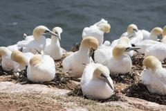 northern gannet (morus bassanus) colony, heligoland, small german archipelago - stock photo