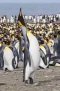 king penguin (aptenodytes patagonicus) breeding colony at st. andrews bay, so - stock photo