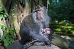 Crab-eating macaque (macaca fascicularis) mother with baby, monkey forest, ub Stock Photos