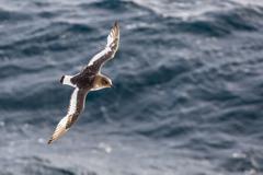 Adult antarctic petrel (thalassoica antarctica) in flight in the drake passag Stock Photos
