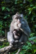 Crab-eating macaque (macaca fascicularis), monkey forest, ubud, bali, indones Stock Photos
