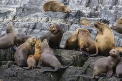 South american sea lions (otaria flavescens) in breeding colony hauled out on Stock Photos