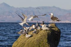 Breeding elegant terns (thalasseus elegans) return to colony on isla rasa, ba Stock Photos
