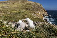 black-browed albatross (thalassarche melanophris) adult and chick on west poi - stock photo