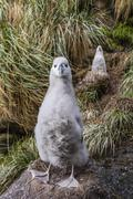 Black-browed albatross (thalassarche melanophris) chicks in nest on saunders  Stock Photos
