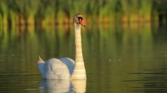 White mute swan swimming in the water in nature in the morning, static - stock footage
