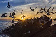 Breeding elegant terns (thalasseus elegans) return to colony on isla rasita a Stock Photos