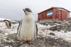 Gentoo penguin chicks (pygoscelis papua) at argentine rescue hut, mikkelsen h Stock Photos