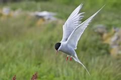 arctic tern (sterna paradisaea) in flight, inner farne, farne islands, northu - stock photo