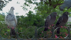 Doves sitting on wrought iron fence Stock Footage