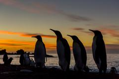 king penguin (aptenodytes patagonicus) silhouetted at sunrise at breeding col - stock photo
