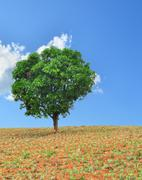 A single tree standing alone in pineapple field with blue sky Stock Photos