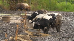 Cows in mire Stock Footage
