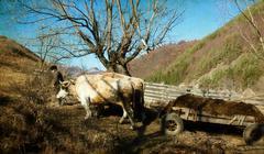 cart pulled by bullock - rural scene - stock photo