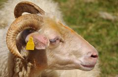 Aries within the sheep flock Stock Photos