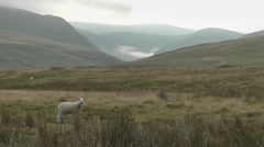 Sheep standing in Welsh mountain landscape Stock Footage