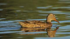 Wild duck swimming and feeding in the lake, nature, close-up, camera movement Stock Footage