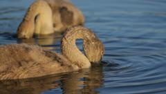Young mute swans feeding in the lake in nature, close-up, camera movement Stock Footage