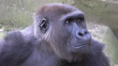 4k Gorilla lady portrait facial expression - stock footage