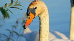 White Mute Swan swimming in the lake, nature, close-up, camera movement Stock Footage