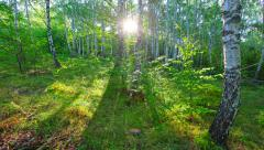 Morning in a birch forest. 4K. FULL HD, 4096x2304. Stock Footage