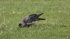 Hungry raven search food green grass scratch pasture crow bird eat sunny day Stock Footage