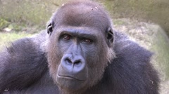 4k Female gorilla portrait facial expression closeup - stock footage