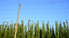 Hop garden during the harvest, real time, Stock Footage