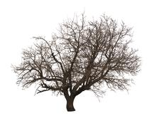 bare tree isolated over white background - stock photo