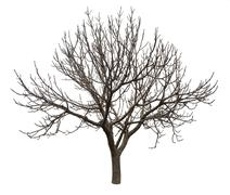 Stock Photo of bare tree isolated over white background
