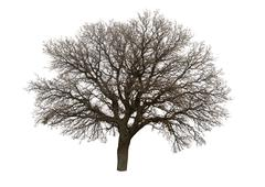 Bare tree isolated over white background Stock Photos