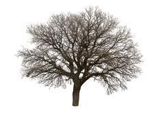 bare tree isolated over white background - stock photo