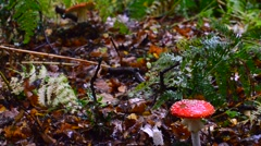 Poisonous red mushroom (Fly Agaric) - stock footage