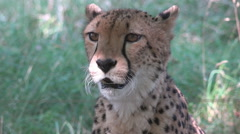 Beautiful closeup portrait cheetah feline detail face carnivore wild animal day Stock Footage